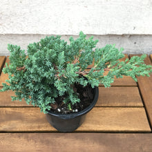 Load image into Gallery viewer, Juniper Bonsai