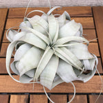 Xerographica Large