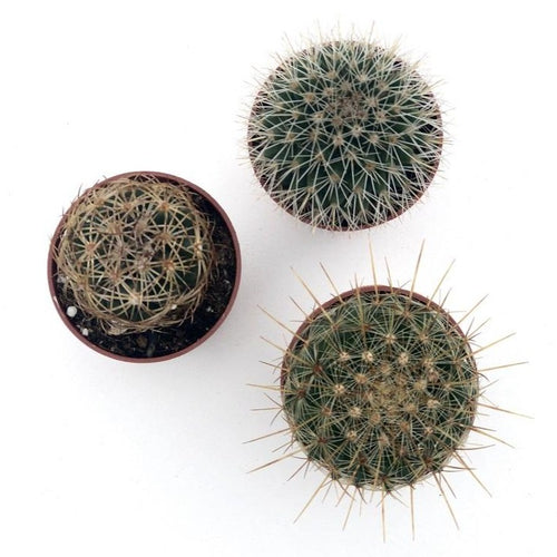 Assorted Cacti 1.5""