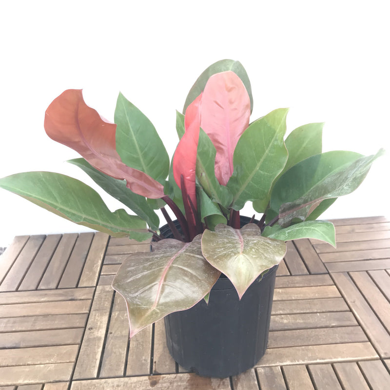 Philodendron 'Prince of Orange' 10""