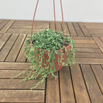 "String of teardrops 5"" Hanging Basket"