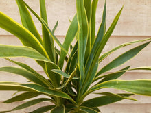 Load image into Gallery viewer, Yucca Cane, Variegated