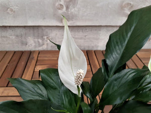 Peace Lily 4""