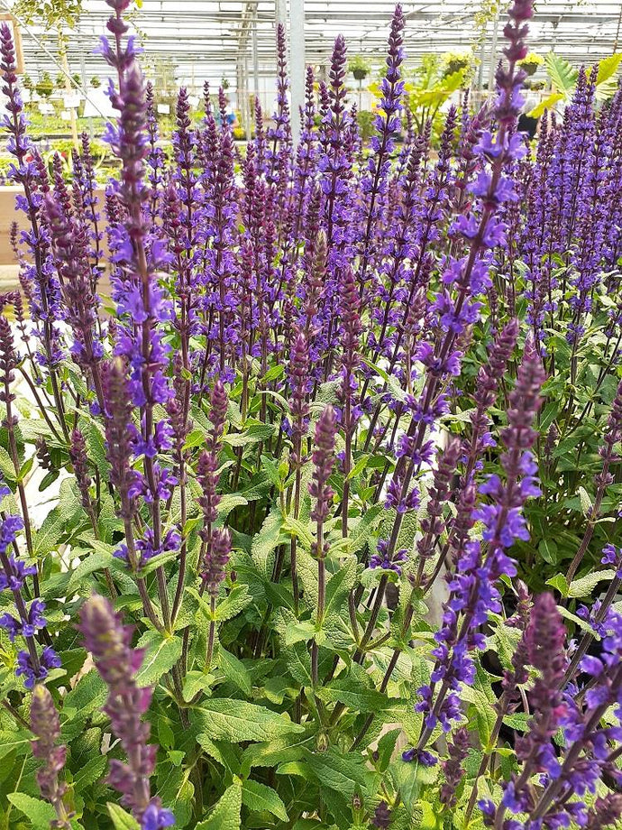 Meadow Sage, Salvia 'Caradonna'