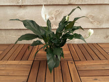 Load image into Gallery viewer, Peace Lily 4""