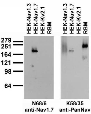 Adult rat brain membrane (RBM) and transfected cell immunoblot: extracts of RBM and HEK-293 cells stably expressing Nav1.3, and Nav1.7 and transiently expressing Kv2.1 probed with N68/6 (left) or K58/35 (right) TC supe.