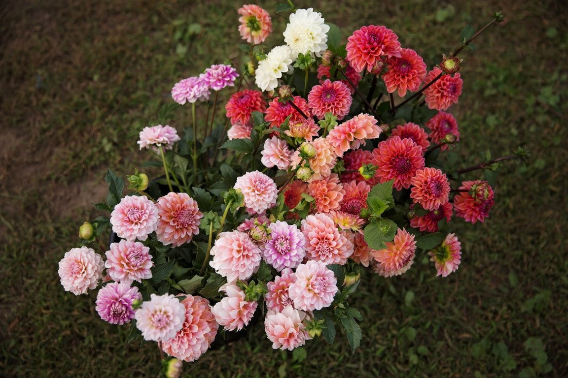 Bulk Dahlias | Dahlia May Flower Farm