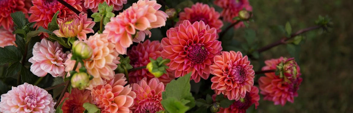 Bulk Dahlia Buckets | Dahlia May Flower Farm, Trenton ON