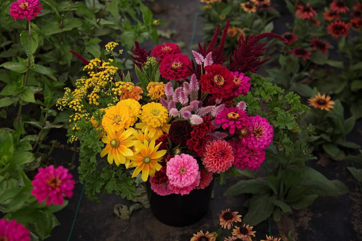 Growers Choice Summer Example | Dahlia May