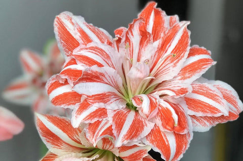 Buy Double Dancing Queen Amaryllis Bulbs Online - Dahlia May Flower Farm