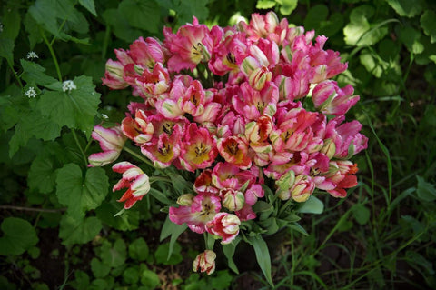 Buy Pink Vision Tulips Online - Dahlia May Flower Farm