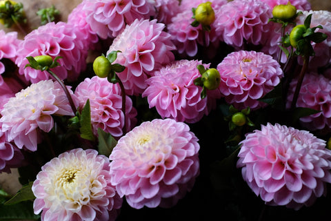 Wizard of Oz Dahlia Tuber