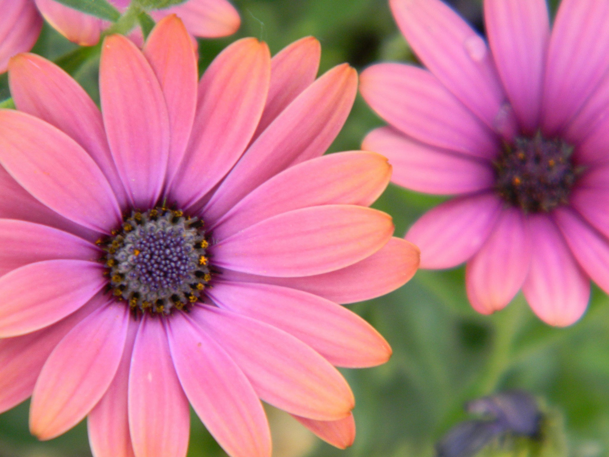 Pink Daises Jpeg Photo Download 124 Lazy Daises