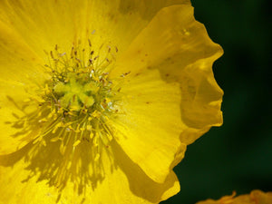 Yellow Poppy Jpeg Photo Download 133 Xanthous