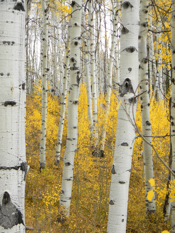 Jpeg Instant Photo Download 152 Aspen Gold Colorado Fall on Gypsum Creek Rd