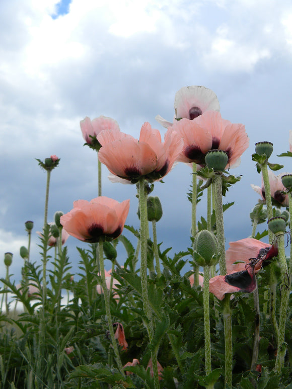 Jpeg Photo Download  177 Pink Poppy
