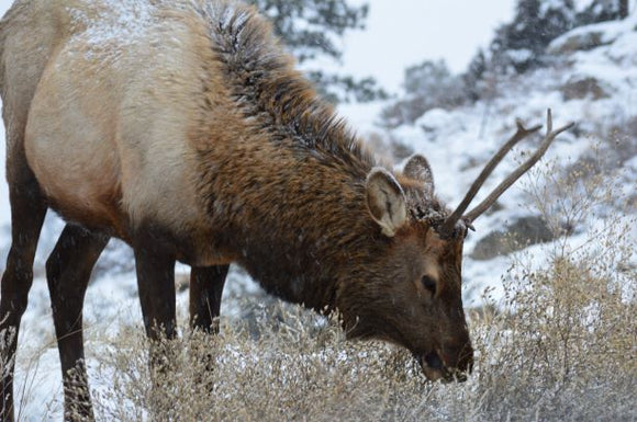 Jpeg Photo Download 178 Elk