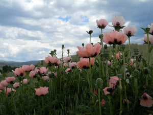 Jpeg Photo Download 203 Poppy Fields - Pink Poppies