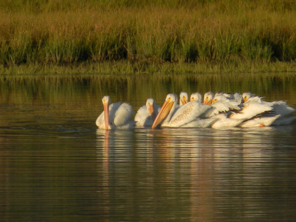 Jpeg Photo Download 209 White Dawn - American White Pelicans