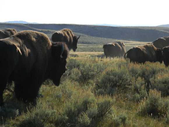 Jpeg Photo Download  210 Buffalo Roam - Wild Buffalo Yellowstone National Park Wyoming