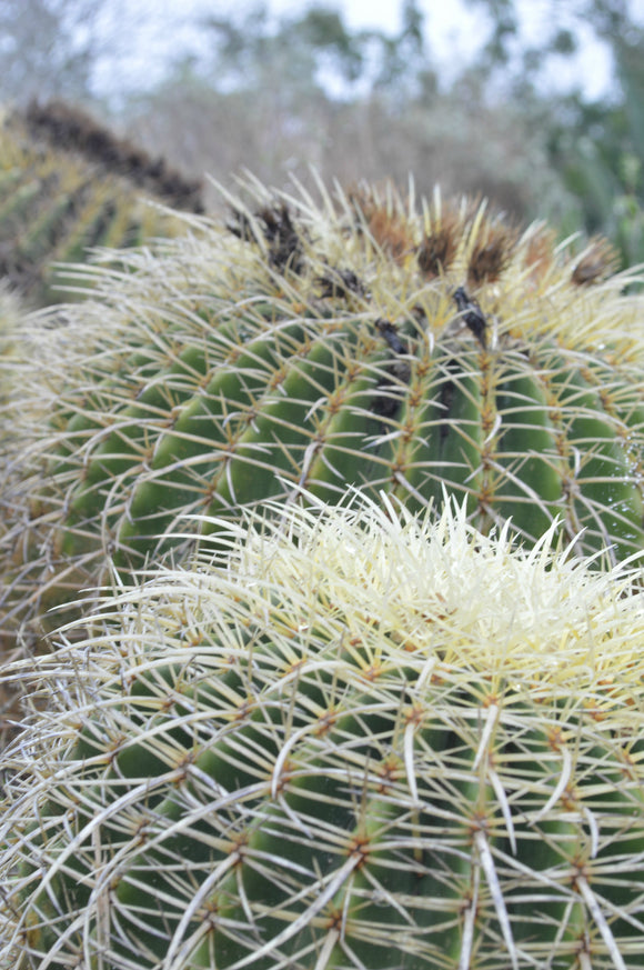 Jpeg Photo Download 216 Golden Ball - Barrel Cactus South Texas Botanical Gardens & Nature Cente