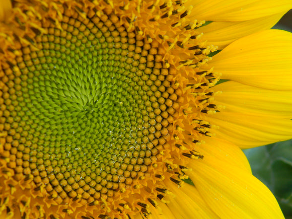 Jpeg Photo Download 223 Flower of Life - Sunflower