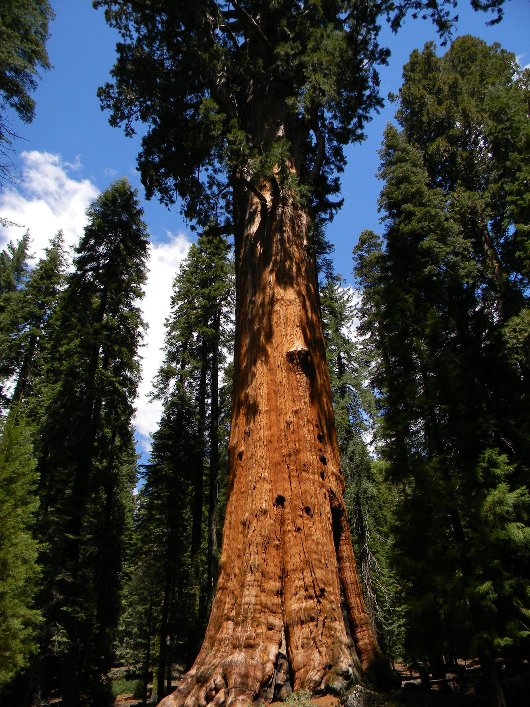 Jpeg Photo Download 227 General Sherman - Sequoia National Park