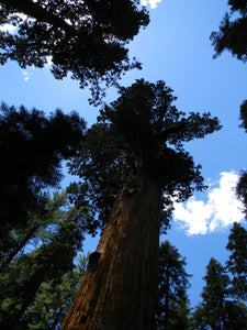 Jpeg Photo Download 234 Ancient Ones - Trees Sequoia National Park