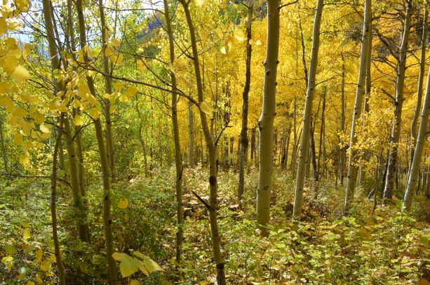 Jpeg Photo Download 240 Aspen Glade - Fall Aspen Leaves Booth Creek Falls Trail Vail Colorado