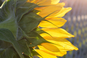 Jpeg Photo Download 242 Sunshine - Yellow Sunflower