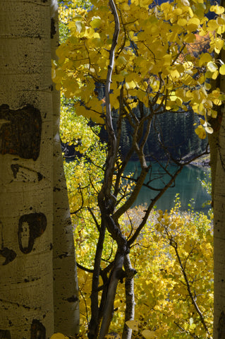 Jpeg Photo Download 248 Aspen and Pine - Fall Leaves Maroon Bells Aspen Colorado
