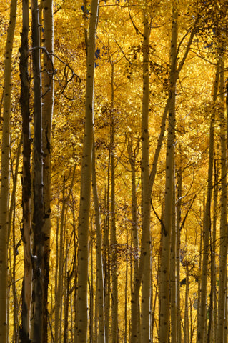 Jpeg Photo Download 249 Yellow Light -  Fall Leaves Maroon Bells Aspen Colorado