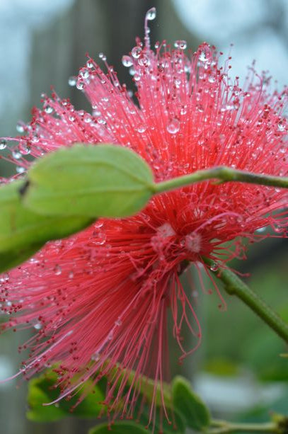 Jpeg Photo Download 257 Pink Puff - Calliandra Tree