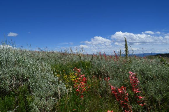 Jpeg Photo Download 263 Flowers Meet The Sky - Wild Flowers Flat Tops Colorado