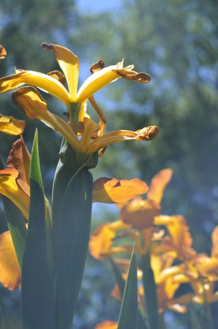 Jpeg Photo Download - 266 Iris Garden - Hondo Iris Farm New Mexico.