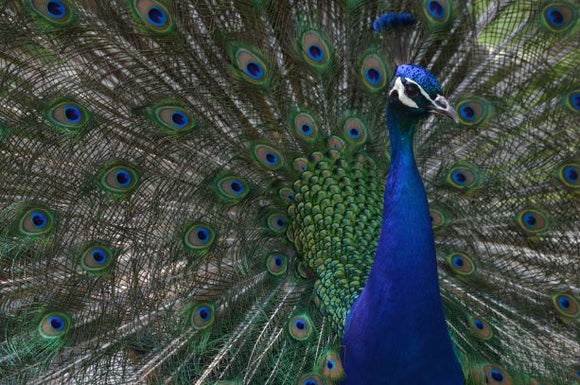 Jpeg Photo Download 268 Majestic - Peacock,Tracy Aviary Salt Lake City Utah