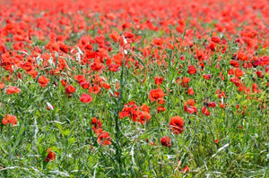 Jpeg Photo Download 273 Field of Poppies -  Wildseed Farm in Fredericksburg Texas.