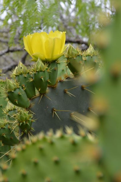Jpeg Photo Download 274 Desert Bloom - Eastern Prickly Pear Cactus, South Texas Botanical Gardens & Nature Center.