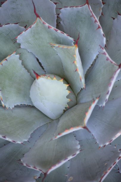 Jpeg Photo Download 276 Agave Cactus- South Texas Botanical Gardens & Nature Center.