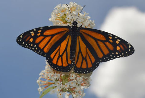 Jpeg Photo Download 285 Transformation - Monarch Butterfly