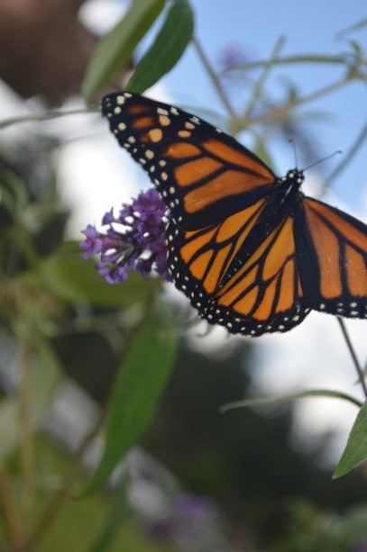 Jpeg Photo Download 286 Wish - Monarch Butterfly