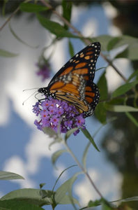 Jpeg Photo Download 287 Wings - Monarch Butterfly