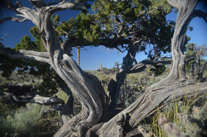 Jpeg Photo Download 293 Ancient Juniper Tree - Valley of the Fires New Mexico