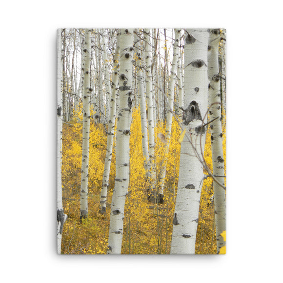Colorado Fall Leaves Canvas Photo Print - 152 Aspen Gold