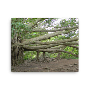 Maui Hawaii Banyon Tree 115  Photo Prints