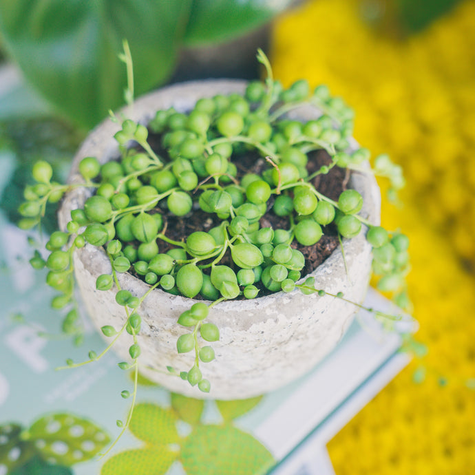 String of Pearls | Plant Care Guide