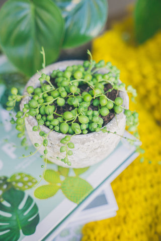 String of pearls in white pot sitting on plant books