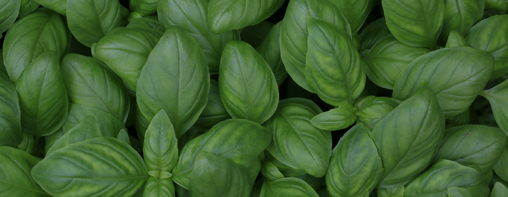Everyday Magic: Basil