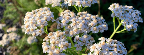 Yarrow is an herb used for courage in the Oshun ritual kit