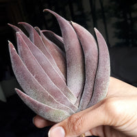 Crassula Garnet Lotus